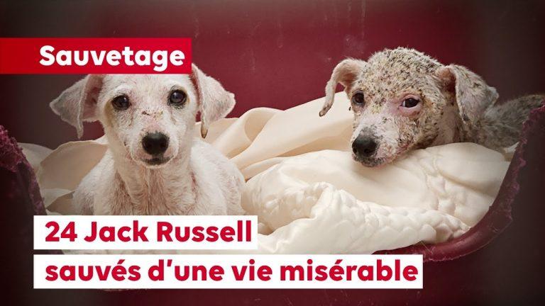 La Fondation 30 Millions d'Amis sauve 24 Jack Russell vivant dans des conditions déplorables