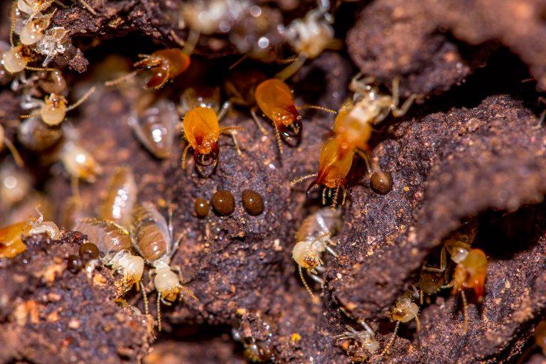 Les termites, ces nuisibles sourds et indolores : Comment s'en prémunir ?