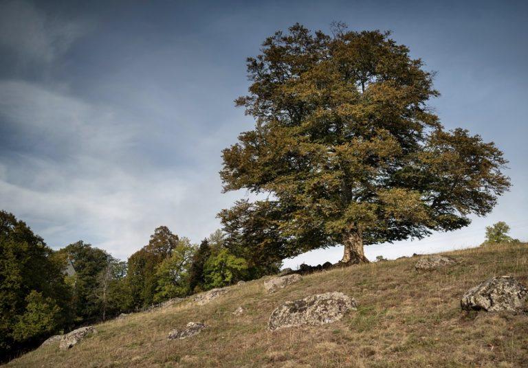 « L'arbre de l'année » est un hêtre majestueux situé dans le petit  village de Chavagnac dans le Cantal.