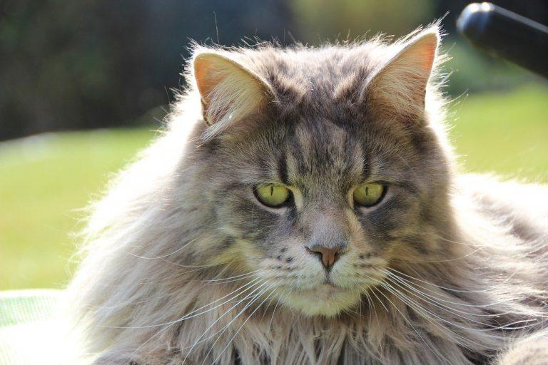 Insolite. Le Maine Coon, race de chat préférée des Français en 2020