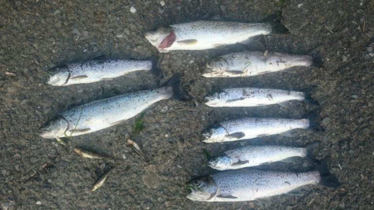 Pollution en Bretagne. Une rivière bretonne et ses poissons victimes d'un élevage porcin
