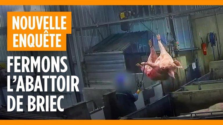 « Fermons l'abattoir de Briec ». L214 dévoile une vidéo choc dans un abattoir fournissant le groupe Les Mousquetaires (Intermarché)