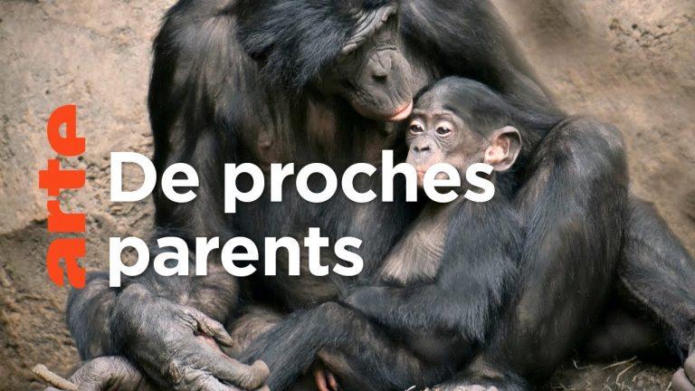 Les grands singes. Reportage