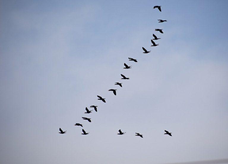 Golfe du Morbihan : l'OFB suit les oiseaux d'eau migrateurs