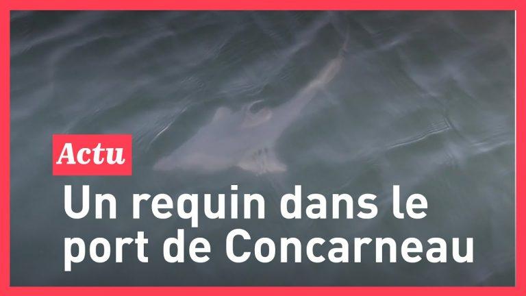 Un requin-taupe filmé dans le port de Concarneau
