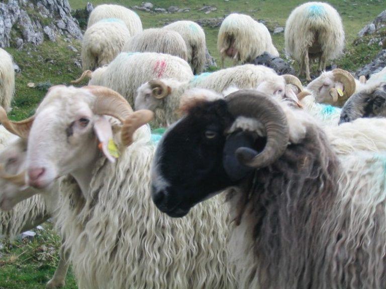 Aid el Kebir : des moutons sacrifiés à Nantes, trafic de moutons démantelé entre l'Espagne et la Seine-et-Marne