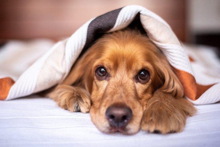 Cyanobactéries : un danger pour les chiens